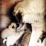 【犬猫動物動画まとめ】COBAN KOPEKLERiNE SABAH KAHVALTISINDA ANNE SUTU - ANATOLiAN SHEPHERD DOG PUPPiES MiLK MOM