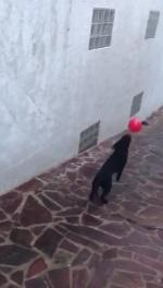【犬猫動物動画まとめ】Dog Keeps Balloon From Falling on Ground by Bouncing it off Themself