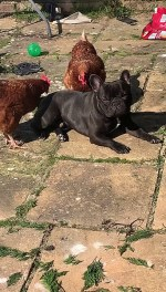 【犬猫動物動画まとめ】Chickens Massaging French Bulldog