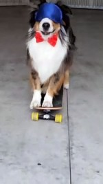 【犬猫動物動画まとめ】Dog Walks Across 5 Skateboards Blindfolded