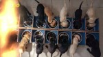 【犬猫動物動画まとめ】Massive and Beautiful Litter of 14 Puppies One of the Biggest Litters in History