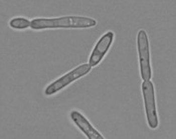 Elongated yeast morphology