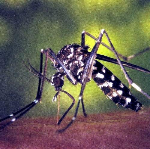 mosquit tigre