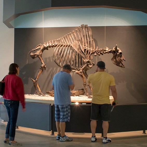 Tar Pits Museum bison display
