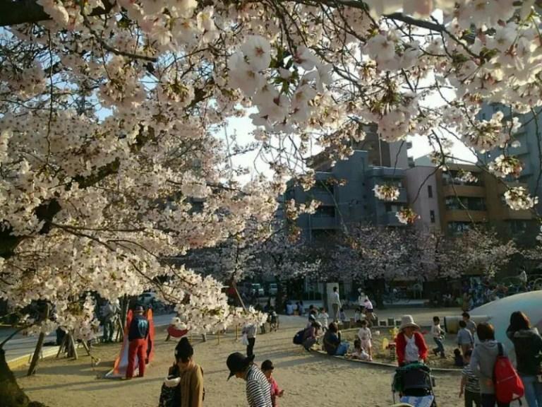 江坂公園桜③