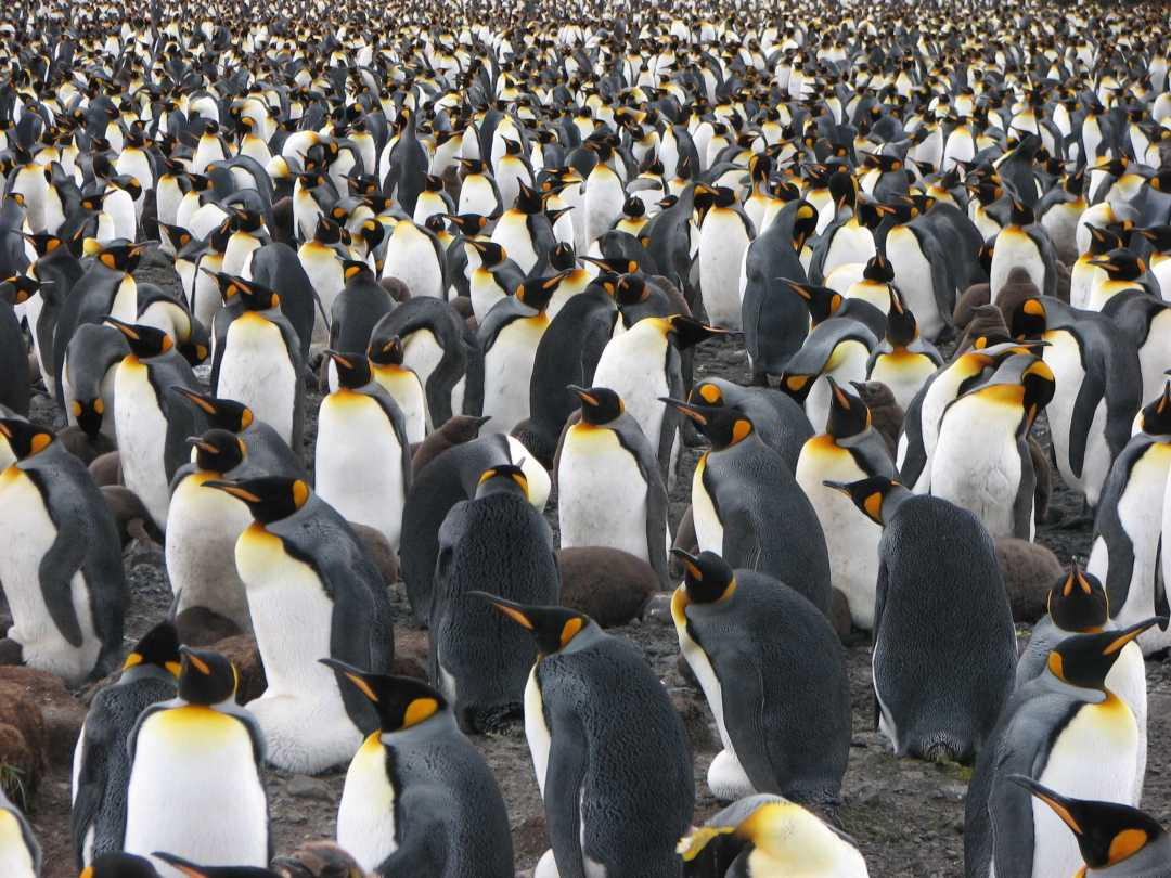 Antarctica travel guide: king penguins as far as they eye can see at Salisbury Plain, South Georgia.