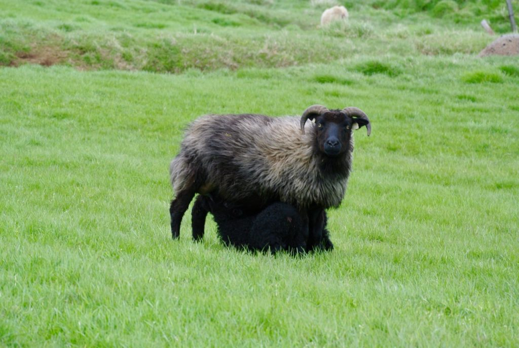 Black sheep in Iceland