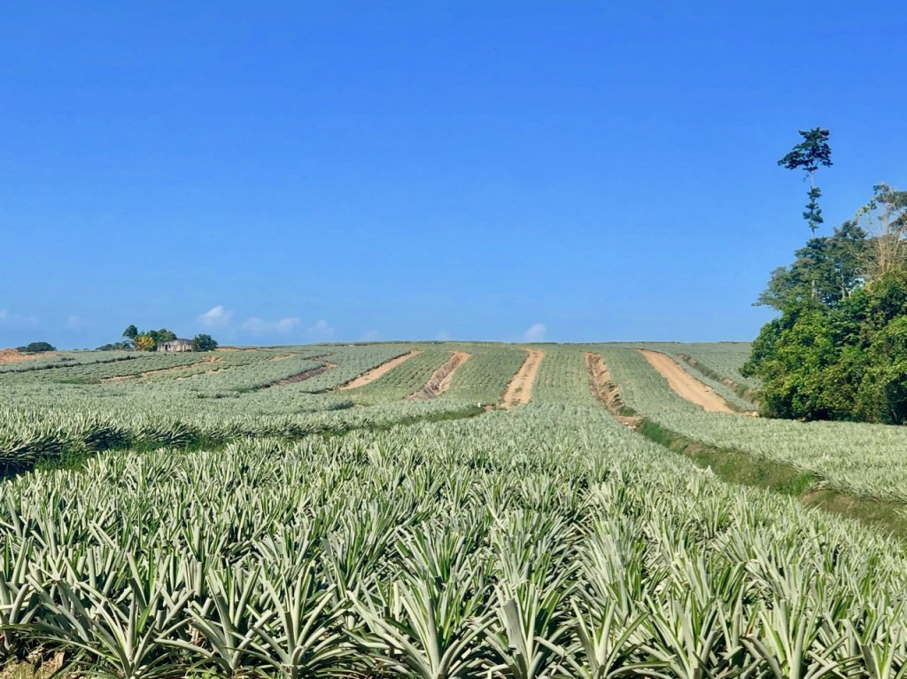 Pineapple plantations on our coast to coast mountain bike ride in Costa Rica.