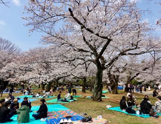 Locals celebrating cherry blossom season in Yoyogi Park in Tokyo