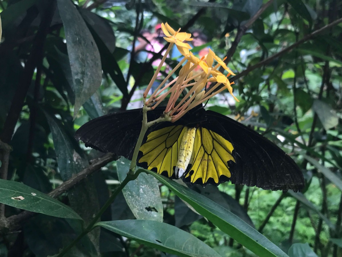 a black and yellow butterfly perched upon pink flowers