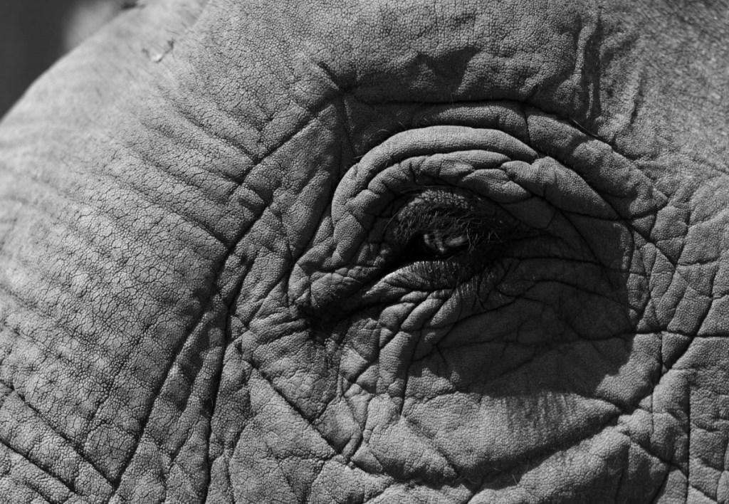 Suitcase Six ELEPHANT-BW-1024x708 Encountering Elephants Ethically.