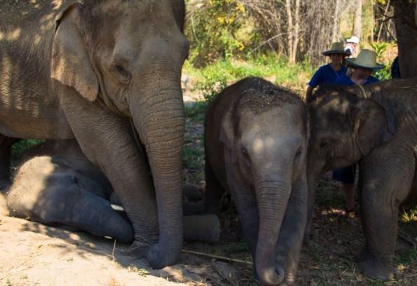 Suitcase Six ELEPHANT-FAM2 Encountering Elephants Ethically.