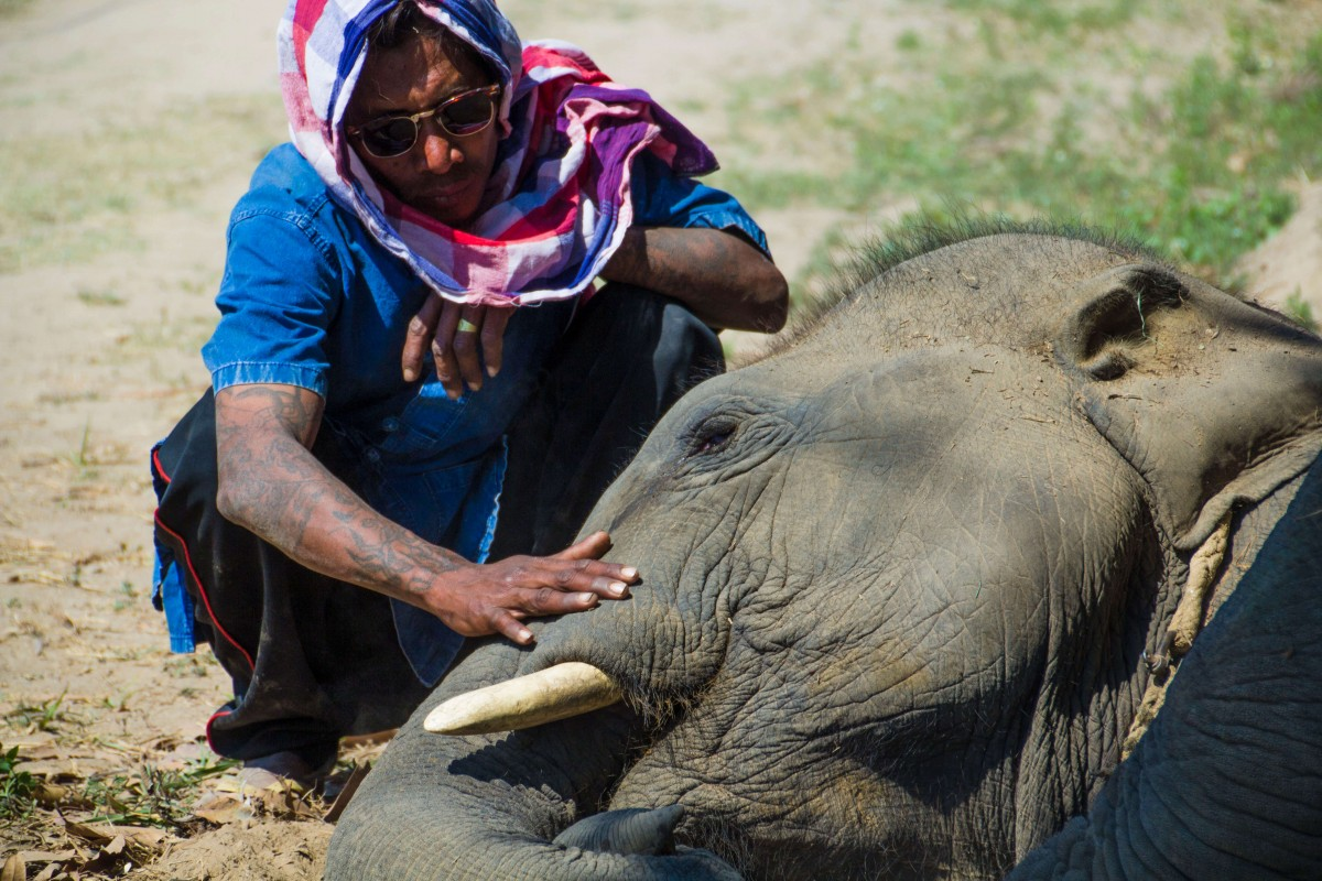 A mahout pets a resting elephant.