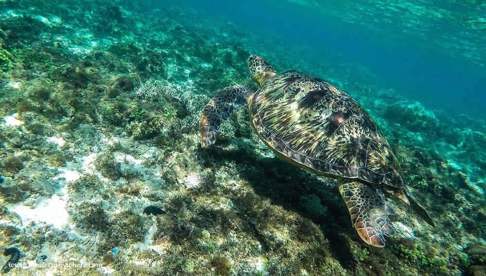 A sea turtle swims through the turquoise ocean waters in Apo Island.
