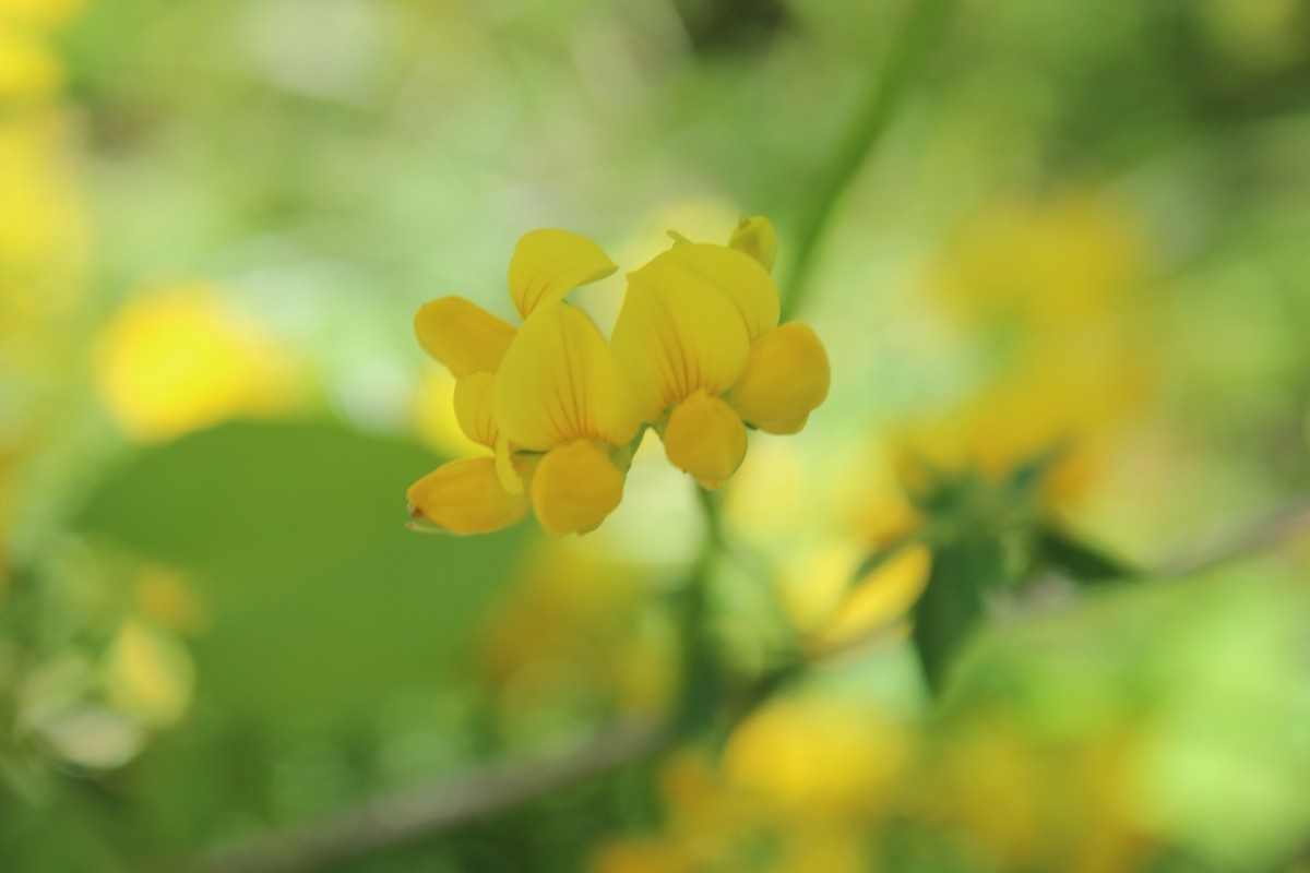 Teeny yellow flowers are in bloom in Indiana during the summer.