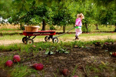 A child pulls a wagon across the apple orchards at Tuttles. Photo courtesy of Tuttles Apple orchards site.