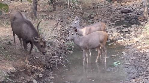 Sambhars at a water hole