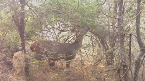 A female Sambhar