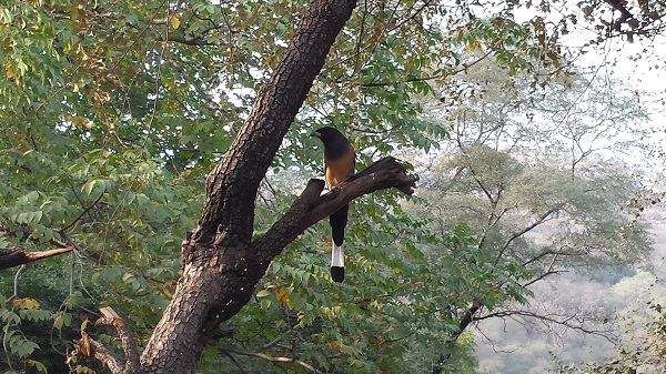 Rufous Treepie: local guides call it the tiger's toothbrush