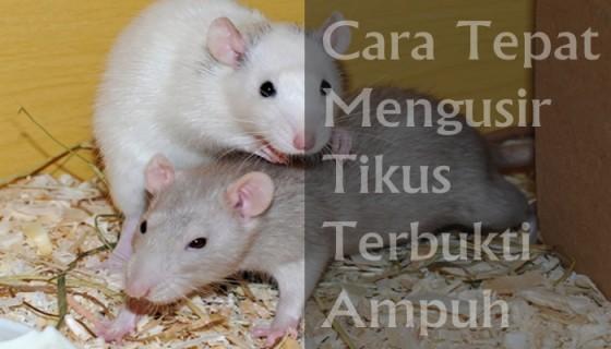 cara mengusir tikus menggunakan bawang merah
