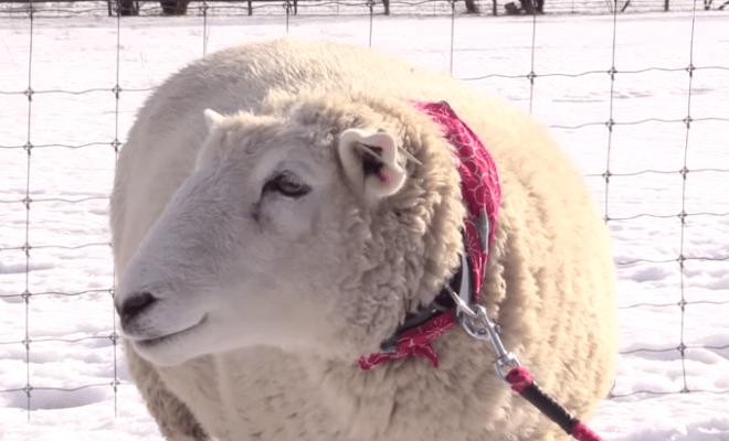 Happy, si Domba Tersenyum Dari Jepang