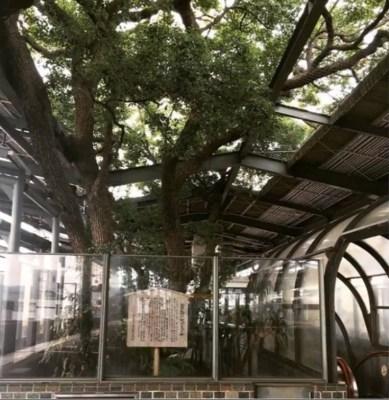 Walau Di Tengah Stasiun, Jepang Tetap Pertahankan Pohon Tua Berusia 700 Tahun