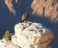 California Condor 87