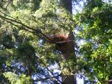 American Crow's nest, up a tree on Bainbridge Island
