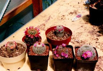 cacti 5 (Large)