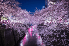 Sakura(Cherry blossom in Japan)