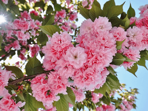Yaezakura(double cherry blossoms)