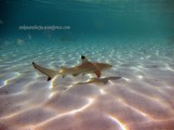 Black thip baby Reef Shark