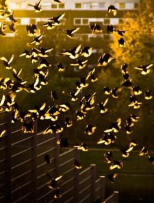 Foto: Vögel fliegen in der Abendsonne auf, hinweg über einen Zaun