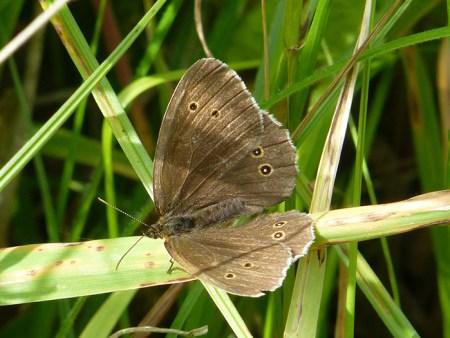 meadow-brown-1-1