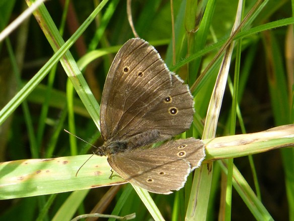 meadow-brown-1-1
