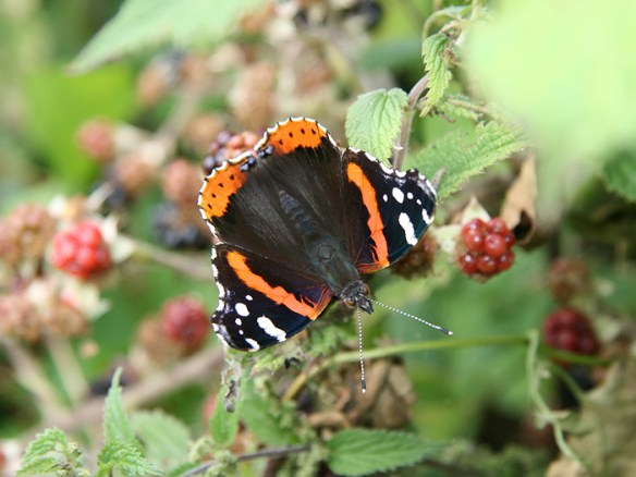 red-admiral-1