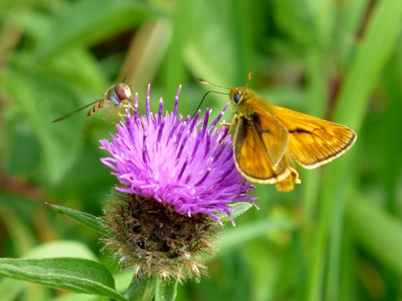 small-skipper-and-wasp-1