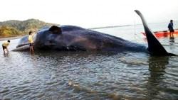 16 Jam Terdampar di Bombana, Ikan Paus Itu Akhirnya Mati