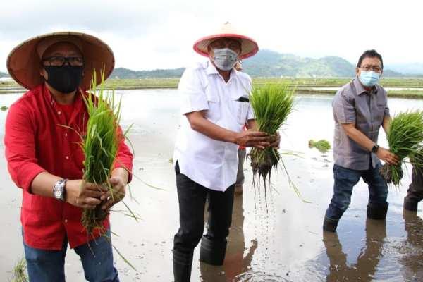 Tanam Padi dan Panen Cabai di Minahasa, Gubernur Olly Dukung Penuh Petani Sulut