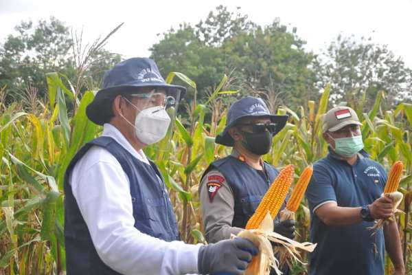 Manado Bakobong, Walikota GSVL Panen Jagung dan Kacang Hijau