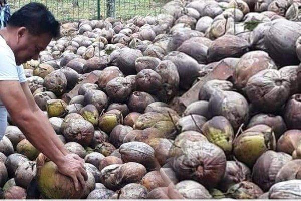 Gubernur Olly Optimis Pengembangan Bibit Kelapa Unggul Angkat Primadona Sulut