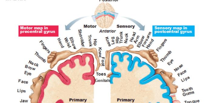 ¿Puede funcionar mi cerebro sin el resto de mi cuerpo?