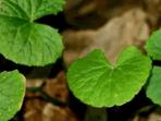 manfaat tanaman herbal untuk kecantikan