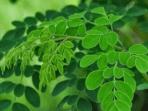 manfaat tanaman herbal di sekitar kita