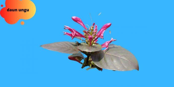manfaat herbal daun ungu