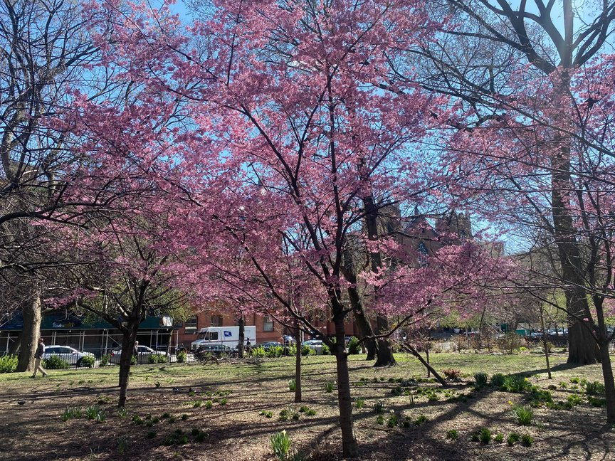 A photo of cherry blossoms in Tompkins Square Park in March 2021