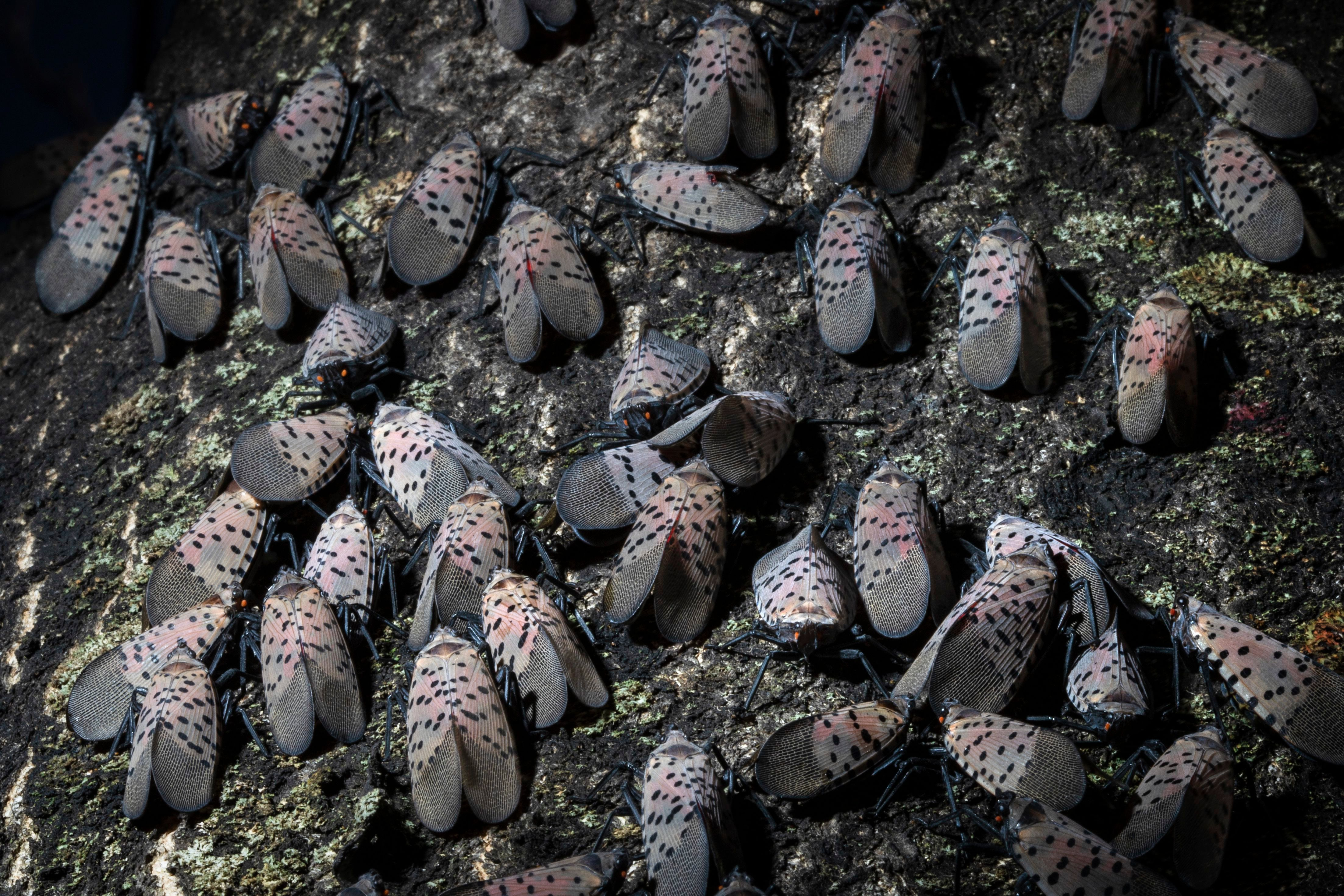 A gathering of spotted lanternflies on a tree.