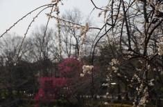 枝垂れ白梅と紅梅