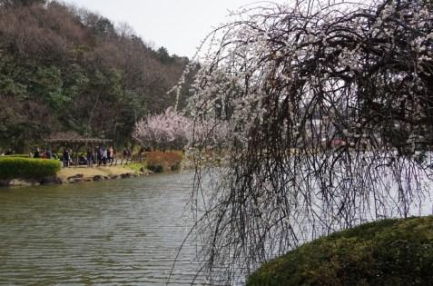 枝垂れ梅と対岸の白梅