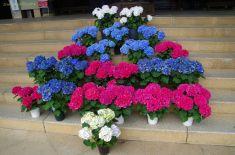本堂に飾られた色鮮やかな紫陽花